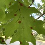 Red-colored, water-soaked leaf spots indicate the early stages of Tubakia leaf blotch development.
