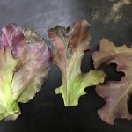 Sporulation of lettuce downy mildew. Photo: S. B. Scheufele