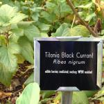 Black currant (Ribes nigrum) and all cultivars are banned in Massachusetts
