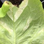 Sporulation of Bremia lactucae on the underside of a lettuce leaf - S. Scheufele