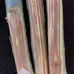 Vascular staining in an American elm (Ulmus americana) stem caused by Dutch elm disease.