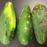 Anthracnose lesions on cucumber fruit. Photo: S. B. Scheufele