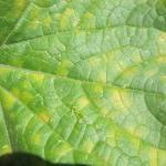 Cucurbit downy mildew on upperside of cucumber leaf.