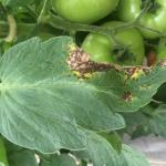 Septoria leaf spot on tomato. Photo: G. Higgins