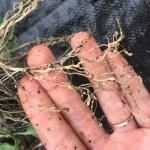 Galls caused by root knot nematodes on tomato seedling roots. Photo: G. Higgins