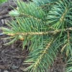 Spore dispersal from one-year-old needles corresponds with budbreak on blue spruce (Picea pungens) from early to late May