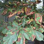 Fig. 2: Dry, wrinkled orange-brown blotches typical of Guignardia leaf blotch on horsechestnut (Aesculus hippocastanum).