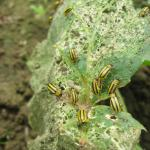 Striped cucumber beetle and extensive feeding damage on a squash leaf. Photo: UMass Extension Vegetable Program
