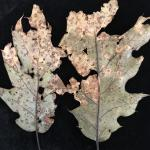 Spots and blotches caused by Tubakia on the abaxial (lower) surface of red oak (Quercus rubra) leaves.