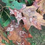 Advanced symptoms of Tubakia leaf blotch on the foliage of a red oak (Quercus rubra)
