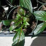 Tospovirus Symptoms in Plants. Ringspots or target marks