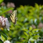 Butterfly on Kalmia (Mountain Laurel)