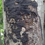 Old and blackened fruiting bodies of Kretzschmaria deusta on a European beech (Fagus sylvatica).