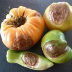 Late blight lesions on tomato fruit. Photo: UMass Extension Vegetable Program