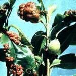 Symptoms of Peach Leaf Curl