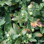 Pseudomonas cichorii on Chrysanthemum