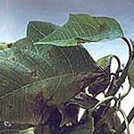 Xanthomonas campestris pv. poinsetticola on poinsettia