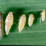Leafhopper Aster, Marcosteles quadralinatis