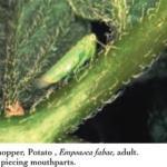 Leafhopper, Potato, Empoasca fabae, adult.