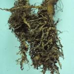 Galls caused by root knot nematodes on lettuce roots. Photo: R.L. Wick