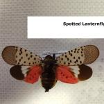 Pinned spotted lanternfly adults with wings open. Note the bright red coloration now visible on the hindwings. This cannot be seen when the insect is at rest. (Simisky, 2017).