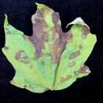 Irregularly-shaped, angular leaf spots caused by Discula on sugar maple (Acer saccharum).