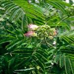 Albizia (a.k.a. silk tree), the original host for the mimosa webworm. (Photo: R. Childs)