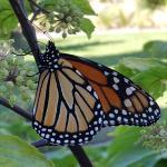 Monarch butterfly. Photo: T. Simisky.