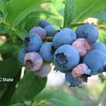Early symptoms of mummy berry