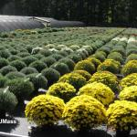 Garden mums on drip irrigation