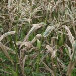 Symptoms of northern corn leaf blight in the field.