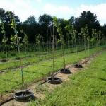 Oak trees in nursery as part of research project.