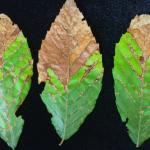 Marginal blight and blotches along the primary veins from an American beech (Fagus grandifolia) infected by Apiognomonia errabunda.