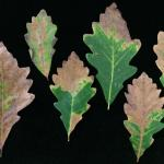 Fig. 3: Blighted leaf margins on a swamp white oak (Quercus bicolor) infected by Apiognomonia errabunda.