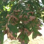 Oak leaf blister caused by Taphrina caerulescens