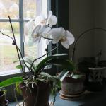 Orchids grown indoors