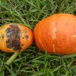 Anthracnose lesions on kabocha squash fruit. Photo: K. Campbell-Nelson