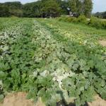 Powdery mildew symptoms in the field. Photo: UMass Extension Vegetable Program