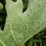 Powdery mildew on winter squash foliage. Photo: UMass Extension Vegetable Program