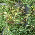 UMass Extension Vegetable Program