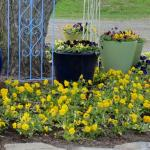Pansies in containers and ground - cold tolerant annual
