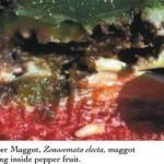 Pepper Maggot