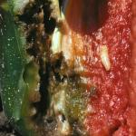 Pepper maggot within pepper fruit. See seeds in top of photo for scale. Photo: J. Boucher