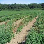P. capsici in a pepper field