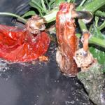 Pepper fruit affected by soft rot bacteria.