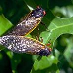 A mating pair of periodical cicadas. (Photo: R. Childs)