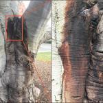 Fig. 1: Phytophthora bleeding canker on European beech (Fagus sylvatica)