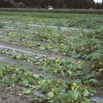 Summer squash field infected with Phytophthora capsici. Photo: R. L. Wick