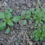 Pigweed, Redroot