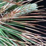 Ploioderma needles cast on Austrian pine (Pinus nigra)